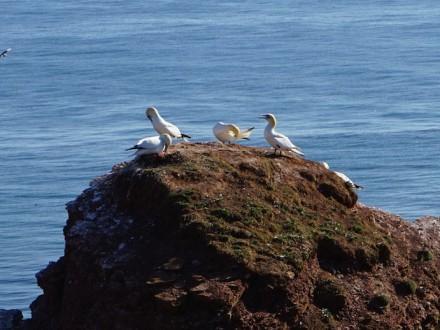 Vögel_Helgoland