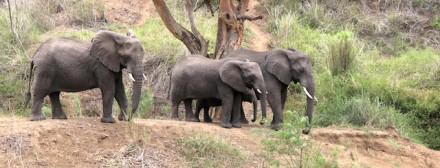 Elephant_2